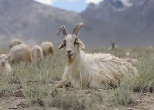 A cashmere goat in the Himalayan mountains of Mongolia